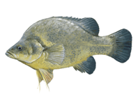 Golden Perch eDNA test