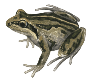 Striped Marsh Frog eDNA test