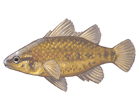 Yarra Pygmy Perch eDNA test