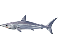 Mako Shark eDNA test