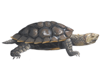 Saw shelled turtle eDNA test