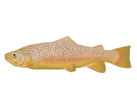 Brown trout eDNA test
