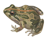Spotted Marsh Frog eDNA test