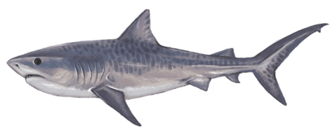 Tiger Shark eDNA test